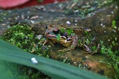 Common Frog , Rana temporaria (2) (Geckoo76) Tags: commonfrog ranatemporaria frog amphibian