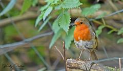 Robin (vickyouten) Tags: robin robinredbreast bird gardenbird nature wildlife nikon nikond7200 nikonphotography penningtonflash leigh uk vickyouten