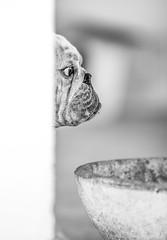 """...""""Face from Bull""""... (Claudio Gennari ...""""Cogli l'attimo ferma il tempo"""") Tags: dog cani englishbulldog bull bullo profilo profile eye occhi"""