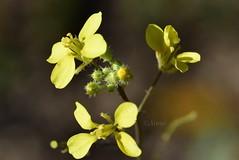 Florecillas amarillas (rosaadda) Tags: nikon 5300 nikonflickraward flowers flor flores nature naturaleza fantasticnature macrofotografía macro