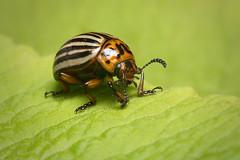 Colorado potato beetle (Leptinotarsa decemlineata) (Stefan Zwi.) Tags: kartoffelkäfer erdäpfelkäfer bug beetle coloradopotatobeetle leptinotarsadecemlineata macro makro ngc npc