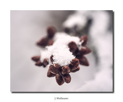 DSC03830 (J.Wolfmaier) Tags: sonyalpha macro macrophotography flower winter december snow schnee nature moody