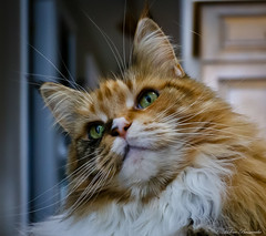 IMG_2432-1 (Helene Bassaraba) Tags: mainecoon bestofcats catmoments vg~catsgallery kittyschoice