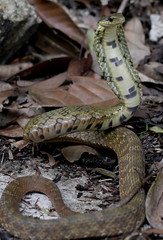 False Cobra (Pseudoxenodon karlschmidti) (cowyeow) Tags: falsecobra pseudoxenodon karlschmidti false cobra pseudoxenodonkarlschmidti herping herpetology herp herps reptile reptiles snakes china chinese chinasnake chinareptile asia asian mountain forest nature wildlife mimic
