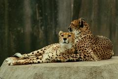 Cheetah Pair 1 (Emily K P) Tags: milwaukeecountyzoo zoo animal wildlife bigcat cat feline cheetah two pair snowing snow spots yellow neutral rock friends
