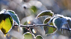 Petit matin sur le lac (olivier.amiaud) Tags: épine givre froid végétation soleil bokeh day matin morning light ronce