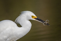 Put A Bow On It (gseloff) Tags: snowyegret bird feeding eel nature wildlife animal fish water horsepenbayou pasadena texas kayak gseloff