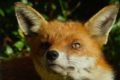 DSC02513 - Fox (steve R J) Tags: fox dads garden rayleigh essex mammal british