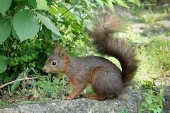 Écureuil roux   (6) (Ezzo33) Tags: france gironde nouvelleaquitaine bordeaux ezzo33 nammour ezzat sony rx10m3 écureuil squirrel