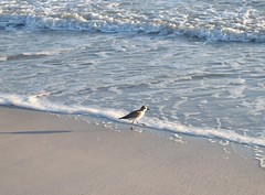 Sanibel Island 2018 (rootcrop54) Tags: vacation 2018 sanibel sanibelisland florida usa sandpiper sanderling bird birds beach ocean shore