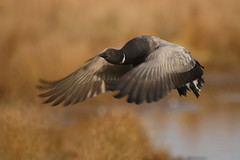 Brent Geese (neil smith2010) Tags: brent goose gees wildfowl flight fying bird wildlife lincolnshire frampton marsh