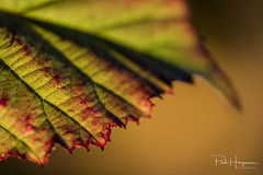 Leaf detail (PaulHoo) Tags: leaf autumn tree forest nature macro closeup detail botshol dof bokeh 2018 nikon d750