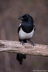 Gazza _003 (Rolando CRINITI) Tags: gazza uccelli uccello birds ornitologia avifauna castellettomerli natura