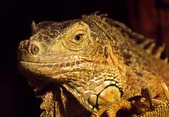 groene leguaan Ouwehands 094A0731 (j.a.kok) Tags: reptiel reptile leguaan groeneleguaan ouwehands dier animal