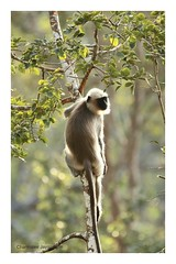 Just hanging (Charm J) Tags: kabini india langur