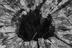 Rotten Center (adamopal) Tags: canon canon7d canon7dmarkii canon7dmkii rottencenter rotten stump rottenstump missingcenter outside walkabout macro macro100mm 100mm multicolor monochrome blackandwhite blackwhite black white