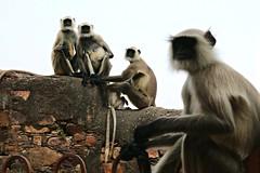 3 + 1 (daniel virella) Tags: monkeys ranthambore ranthamborefort रणथम्भोरदुर्ग unesco hillfortsofrajasthan rajasthan worldheritagesite india bharat राजस्थान भारत picmonkey indianlangur langur greylangur