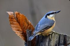 Composizione autunnale 😊 (lucamarasca1) Tags: nuthatch altoadige birdwatching bird birds sigma nikon nature natura picchio picchiomuratore uccelli avifauna wild wildlife