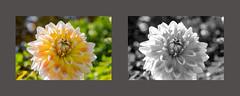 Château de Champs sur Marne - (Noir et Blanc 19) Tags: jardins fleurs plantes nature sony a77