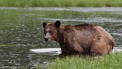 Wet DSC_7801Dec 08 2018 1 (Stormpeak_1) Tags: khutzeymateen britishcolumbia canada greatbearrainforest nature wilderness wildlife grizzlybear bear nikon nikond500 nikon80400mm