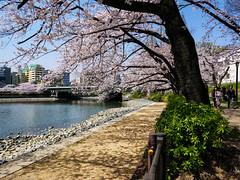 Osaka - Kema Sakuranomiya Park (Noti NaBox) Tags: sakura sakuranomiya park parc cerisier cherryblossom cherry blossom osaka japan japon