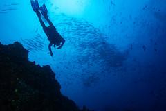 Conducting Fish (maractwin) Tags: koroi diver fiji grandcentralstation naia namena scuba
