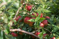 Apple tree branch (gerhardschorsch) Tags: zeiss za apfel frucht früchte apfelbaum sony ilce7r a7r available availablelight bokeh vollformat fe55mmf18za f18 fe55mm 55mm festbrennweite flora