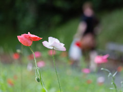 poppies with man in bokeh (Virginia McMillan) Tags: flowers poppies gardens botanic bokeh flowerphotography wellington newzealand