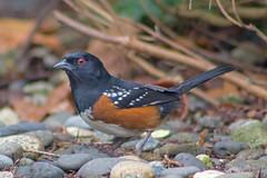 Spotted Towhee (Dave In Oregon) Tags: spottedtowhee pipilomaculatus bird towhee nature oregon rainieroregon fall male rocks birdwatcher