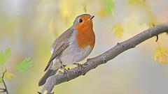 Rotkehlchen (karinrogmann) Tags: rotkehlchen robin pettirosso