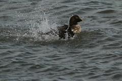 IMG_4922 (monika.carrie) Tags: monikacarrie wildlife scotland