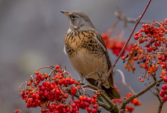 DSC0571  Fieldfare.. (jefflack Wildlife&Nature) Tags: fieldfare fieldfares fields birds avian animal animals wildlife wildbirds wetlands wildlifephotography jefflackphotography wintermigrant winter thrush thrushes songbirds berries countryside hedgerows hedges hawthorn rowan farmland nature