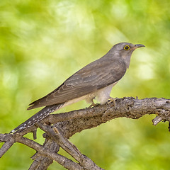 lagoon creek - pallid cuckoo (Fat Burns ☮) Tags: pallidcuckoo cacomantispallidus bird australianbird fauna australianfauna cuckoo nikond750 sigma150600mmf563dgoshsmsports sigmatc140114xteleconverternik wildlife australianwildlife