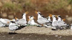 Royal Tern (Mario Arana G) Tags: 7d ave bird birding cr canon canon7d costarica florayfauna marioarana nature photography puntarenas royaltern wildlife