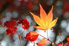 Japanese Maple (Mah Nava) Tags: japanesemaple maple ahorn herbst autumn hi