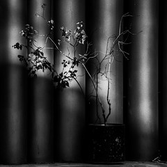 NOVEMBRE (zventure,) Tags: nice oeuvresdart placeyvesklein alentour muséedartmoderne zventure noiretblanc nature noir nb novembre blackandwhite rayons racines rayures rayon tubes monochrome soleil plante pot mamac