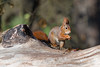 Hoernchen-2018-3180.jpg (Joachim Dobler) Tags: eichhörnchen eichhoernchen squirrel écureuil ardilla scoiattolo esquilo nature natur nagetier esquito wildlife animal cute naturephotography squirrellove wildlifephotography bestsquirrel nutsaboutsquirrels cuteanimals