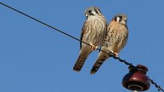 Together (Bill G Moore) Tags: naturephotography birdofprey falcon kestrel raptor wild wildlife canon colorado billmoore