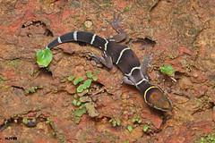 Boulenger's Indian gecko (harshithjv) Tags: reptile lizard gecko cyrtodactylus albofasciatus geckoella boulengersindiangecko reptilia squamata gekkonidae canon 80d tamron macro 90mm godox raynox