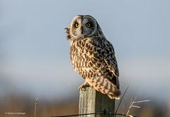 Short-eared Owl (Karen Armitage) Tags: shortearedowl asioflammeus owl raptor bird birdofprey wildlife nature uk