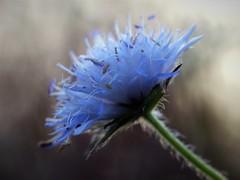 (Kaska Ppp) Tags: nature naturephotography natura natural november flower flowers flowersphotography flora fleur floral plant blue macro macrophotography macromonday macromondays