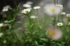 Dream reality (RS PhotoArt) Tags: chile santiago barrioitalia zen mindfulness 35mm sonnar zeiss carl rx1 sony bokeh green garden daisy daisies flowers