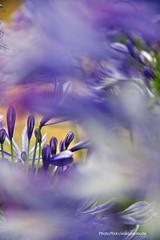 Agapantos para Cecilia (Aprehendiz-Ana Lía) Tags: macro flor flores agapantos lila color jardín argentina mdq nikon flickr bokeh analialarroude imagen luz