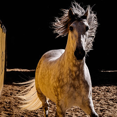 P1070039-Edit.jpg (Freddy Juhl) Tags: spain equine animal animals art background beautiful beauty big black blue brown close closeup color courage cute domestic dust equestrian eye face farm ferocious field fineart fun green hair happy head horse horses lifestyle light mammal mane natural nature one outdoor outside people portrait portraits power purebred race red sky stallion stallions summer texture white wild young