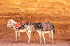 Donkeys in Petra (Jill Clardy) Tags: asia jordan location middleeast roadscholar nabatean ruins red sandstone donkey donkeys resting ride 201810289l8a2254