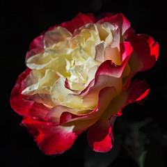 2018 Autumn rose (shinichiro*) Tags: 20181102sdim6764 2018 crazyshin sigmasdquattroh sdqh sigma1770mmf284dcmacrohsm november autumn yokohama 横浜イングリッシュガーデン rose flower macro 45930926452 4342249 201901gettyuploadesp