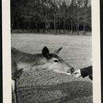 Archiv R796 Rehfütterung, 1930er thumbnail