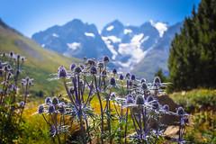 Reines Des Alpes (François Leroy) Tags: françoisleroy france hautesalpes briancon lautaret glacier reine alpes fleur jardins montagne
