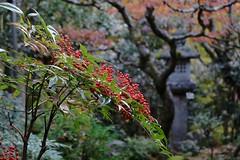 nanten (ababhastopographer) Tags: kyoto takao kozanji sekisuiin nanten fruits garden autumn 京都 高雄 高山寺 石水院 ナンテン 南天 果実 庭園 秋 nandinadomestica