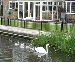 20180612 Scounging swan (rona.h) Tags: ronah 2018 june chesterfieldcanal patience